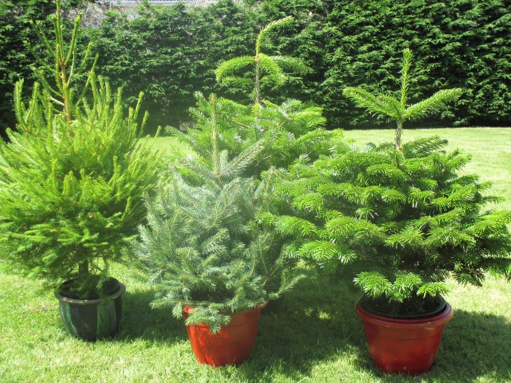 Pot Grown Trees – Forest Fresh Ireland Ltd